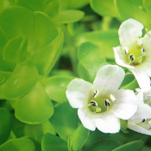 anti stress bacopa