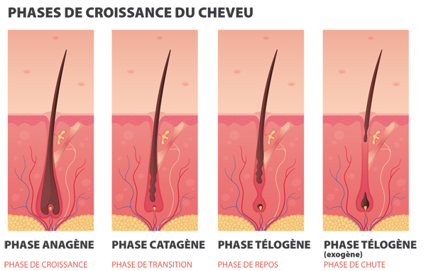 phases de croissance du cheveu
