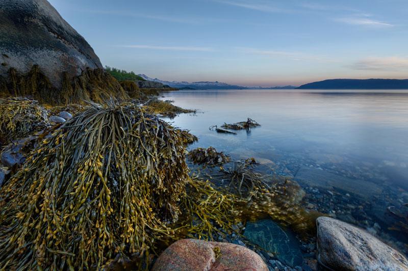 L'ascophyllum nodosum, un trésor des océans pour notre santé